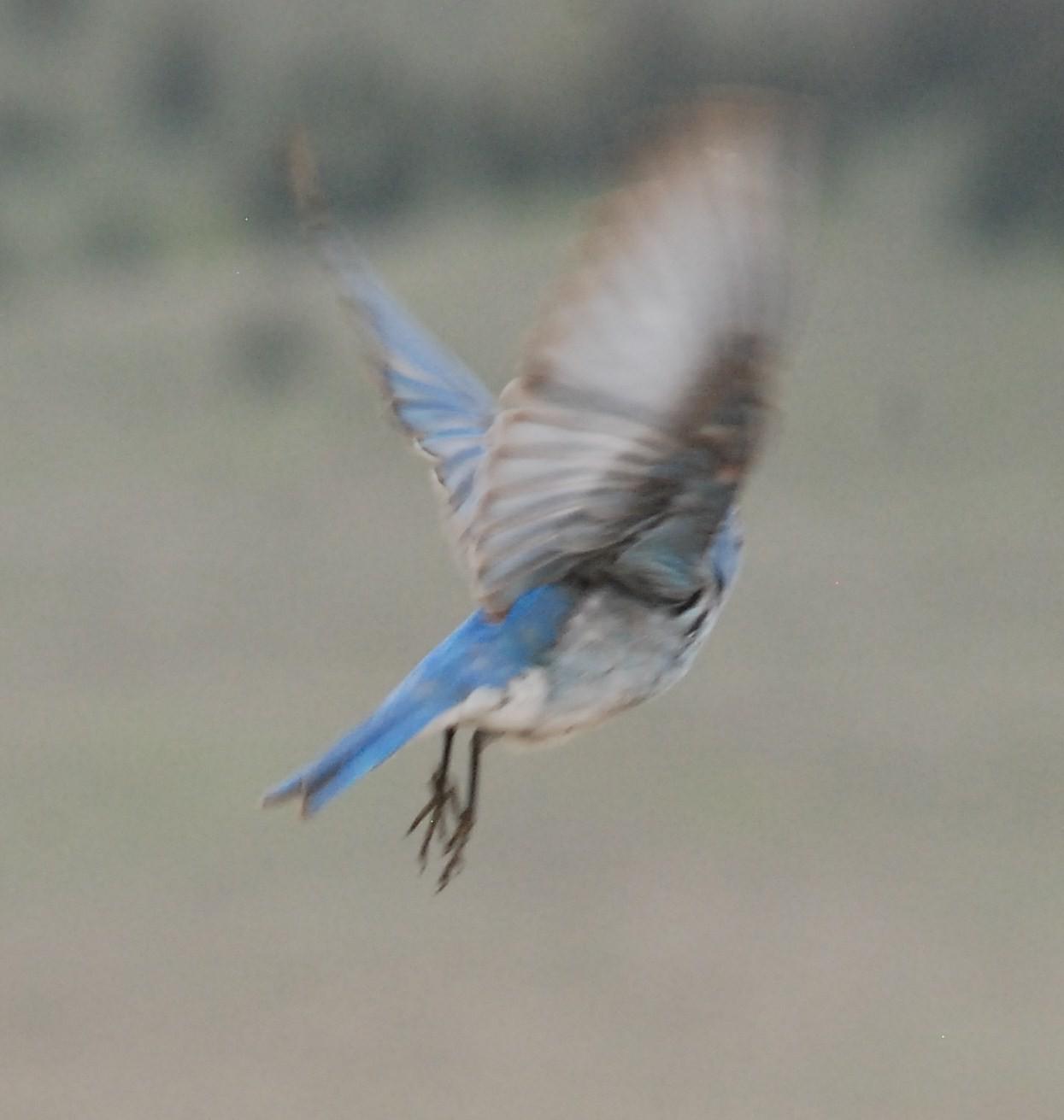 Idaho State Bird