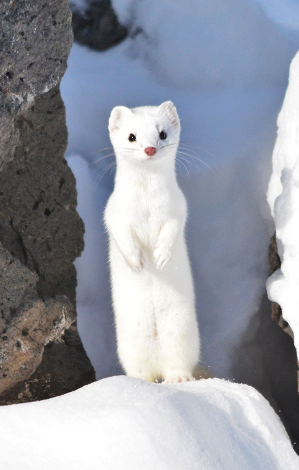 Polar Bears additionally Consumers Of The Alaskan Tundra besides 2 together with Baby Weasels Will Weasel Their Way Into Your Heart further Russian Taiga 2. on tundra ermine