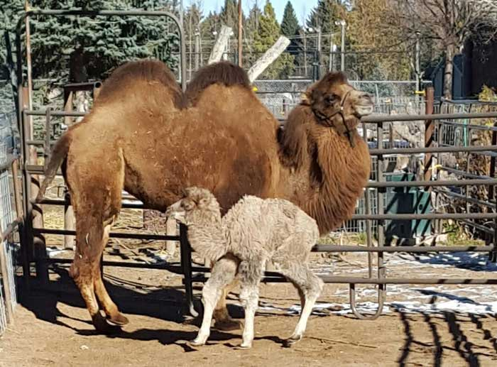 Baby_Camel01