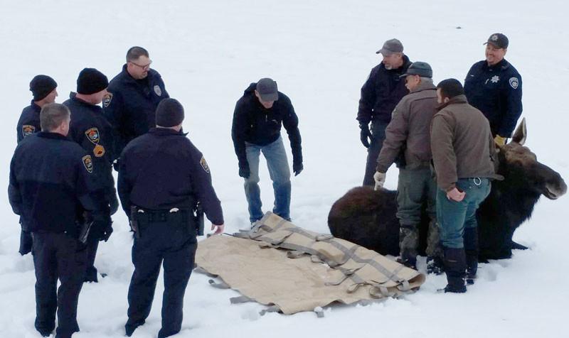 update authorities take down four moose in idaho falls