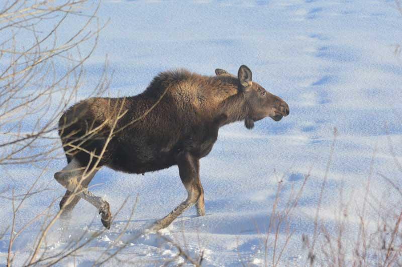 Moose35-16