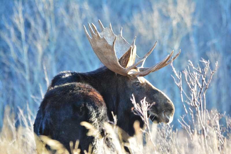 Moose80 15