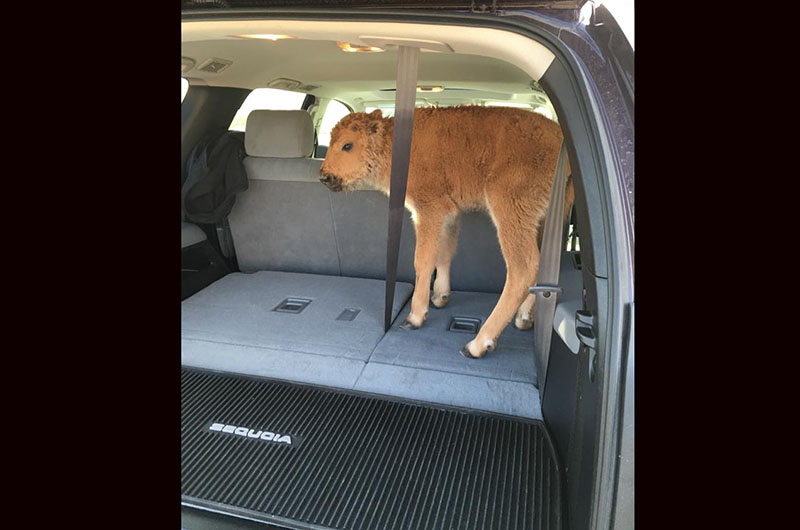 bison in car
