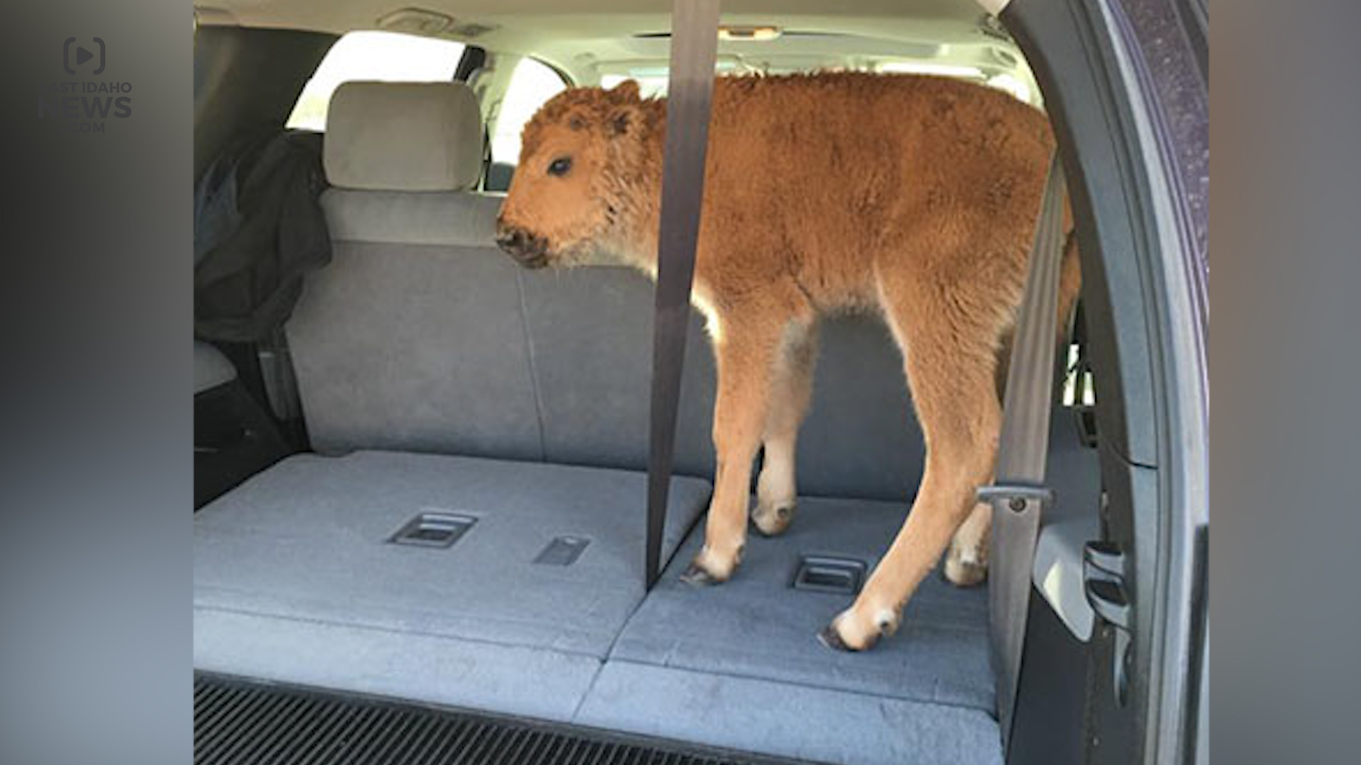 bison again