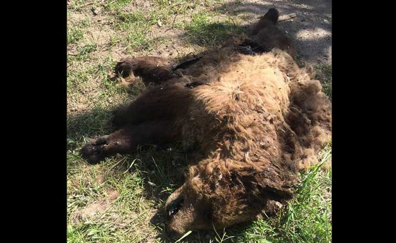 Reward Available For Details About Dead Grizzly Bear Found In Island