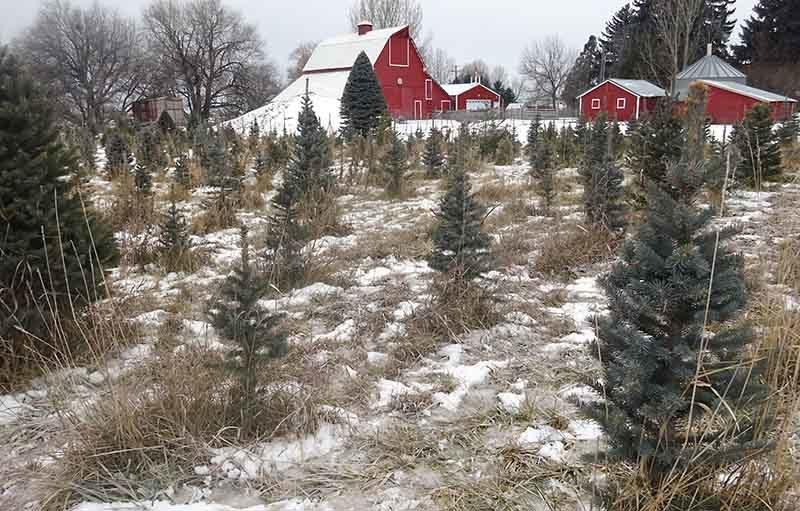 Fresh Cut Christmas Trees Near Me.Where To Get A Fresh Cut Christmas Tree In East Idaho East