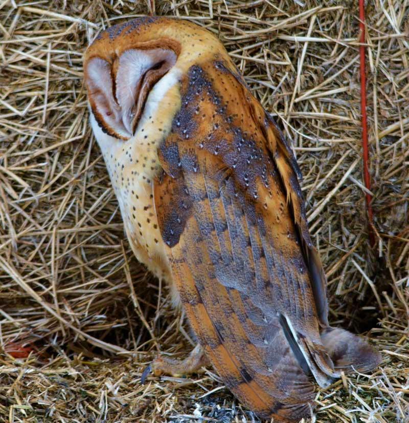 Schiess barn owls gather near mud lake east idaho news for Food bar owl