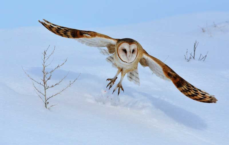 SCHIESS: Barn owls gather near Mud Lake   East Idaho News