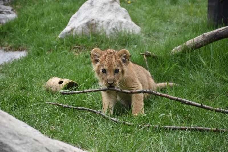 Idaho Falls Zoo announces birth of male African lion cub
