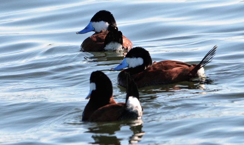 Ruddy Duck02