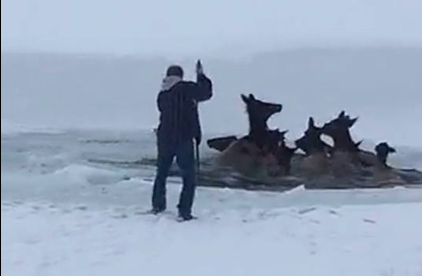 good samaritans frantically rush to save herd of elk that fall