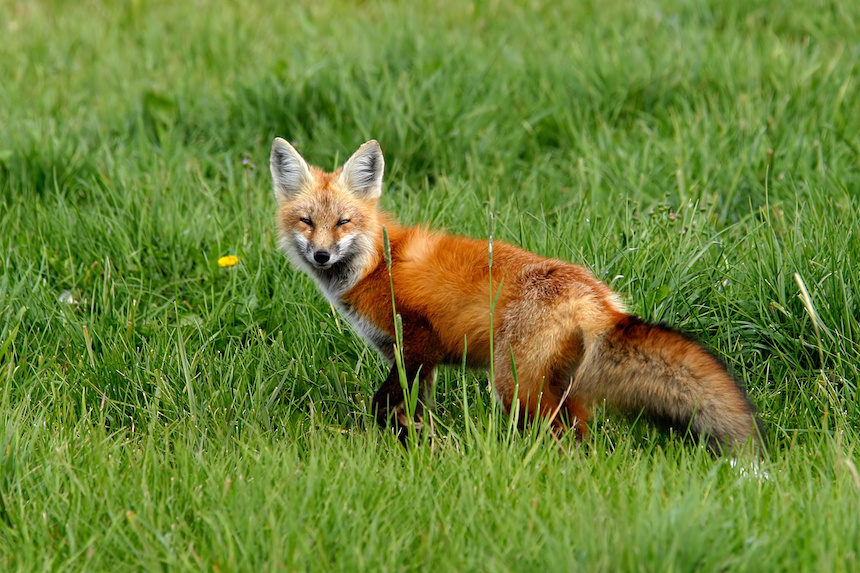 Food Conditioned Red Fox Killed In Grand Teton National Park East
