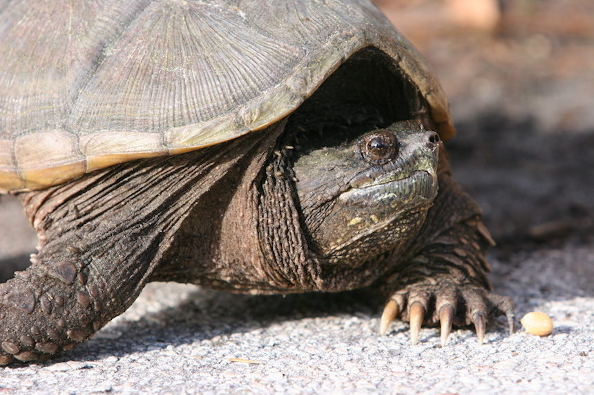 Science teacher fed puppy to snapping turtle