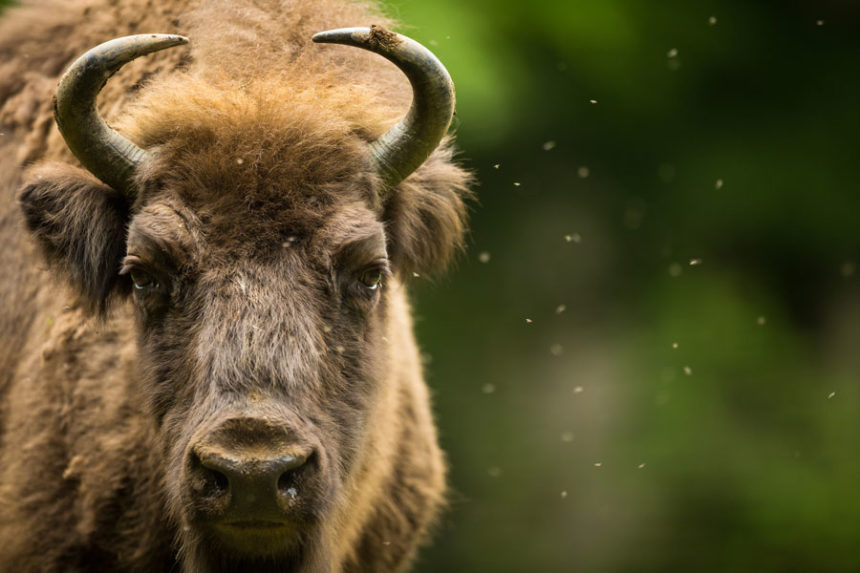 72-year-old injured in bison altercation near Old Faithful
