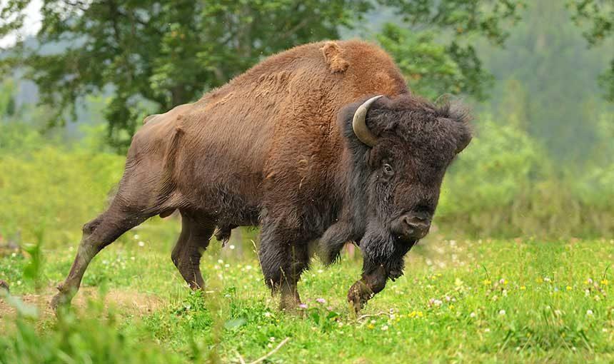 running bison adobe