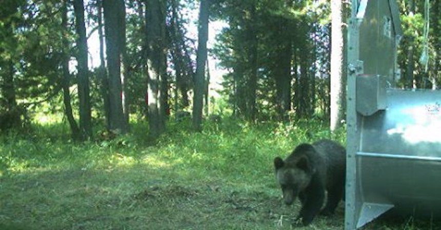 Grizzly bear moved from Island Park to Texas sanctuary | East Idaho News