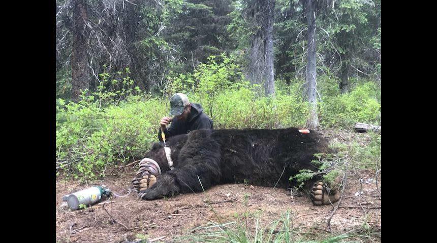 grizzly washington idaho border