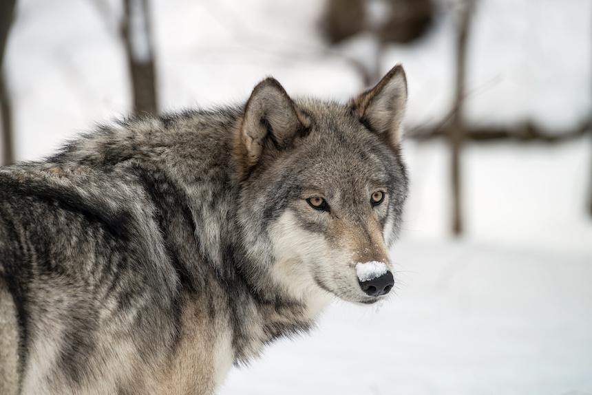 Man Pleads Guilty To Killing Wolf Inside Grand Teton