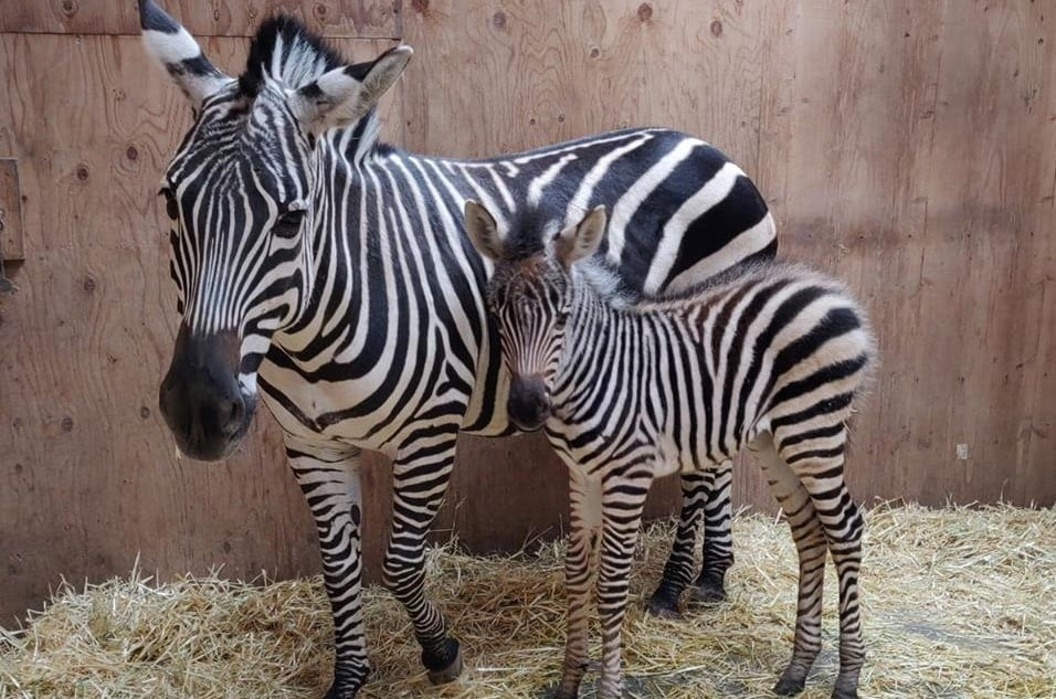 Baby Zebra Born At Idaho Falls Zoo Just In Time For