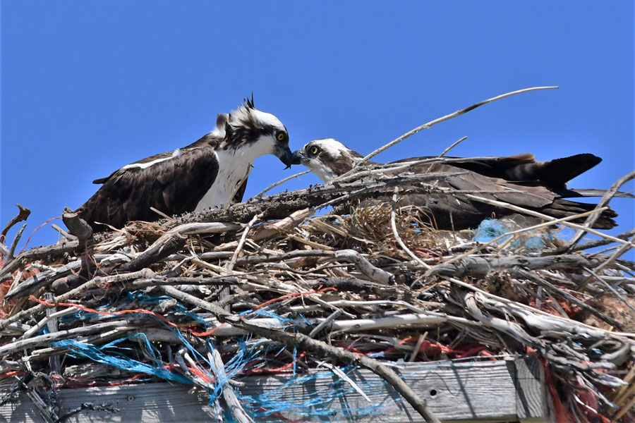The osprey at Ririe reservoir could use a visit from Chip and Joanna