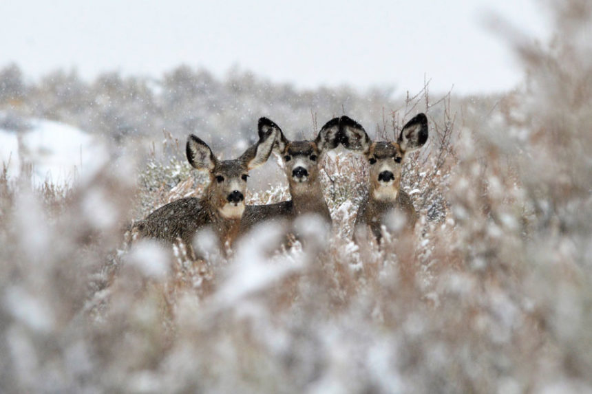 while tail deer