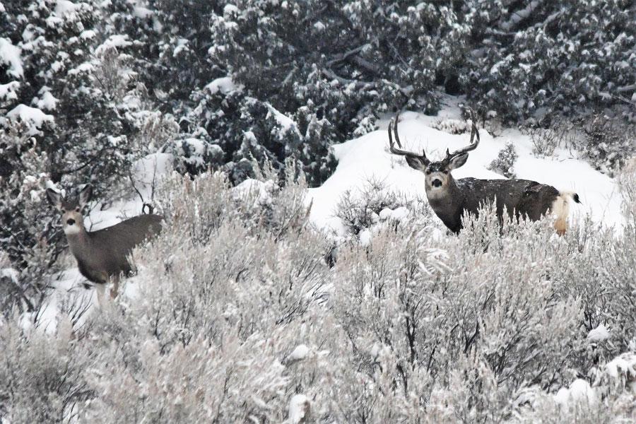 mule deer 3
