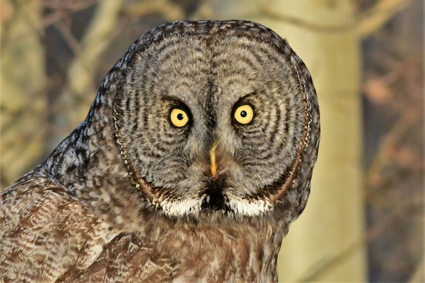It S A Great Time Of Year To See Great Gray Owls East Idaho News