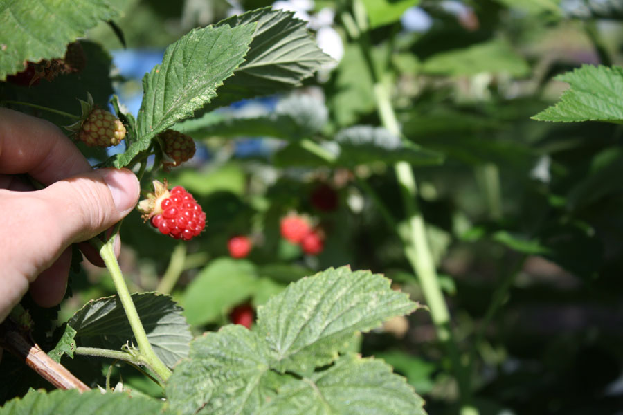 Starting a backyard berry patch in eastern Idaho | East Idaho News