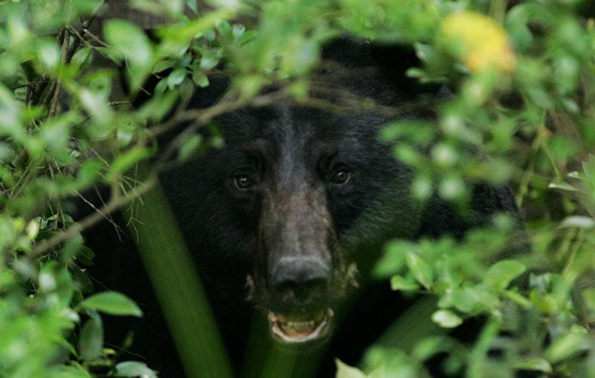 black bear usfws