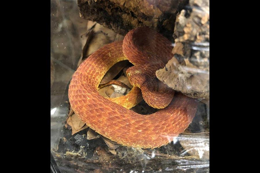 bush viper idfg