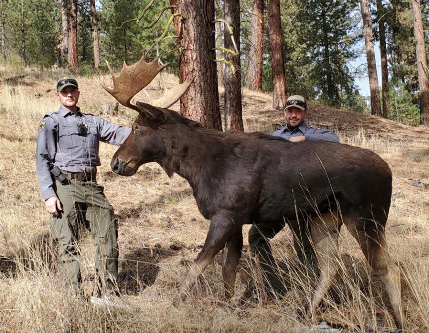 decoy elk