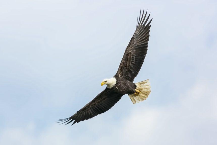 flying eagle pic