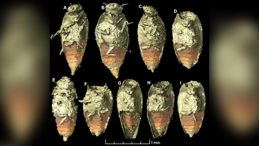 beetle species