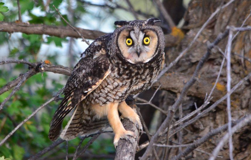 longeared owl 1