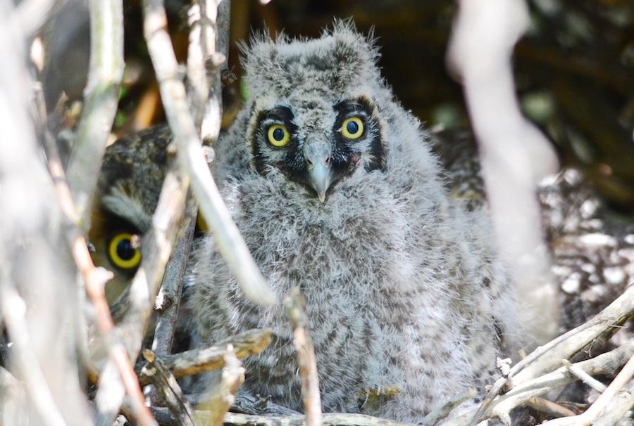 longeared owl 2