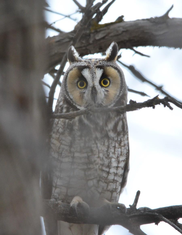longeared owl 3