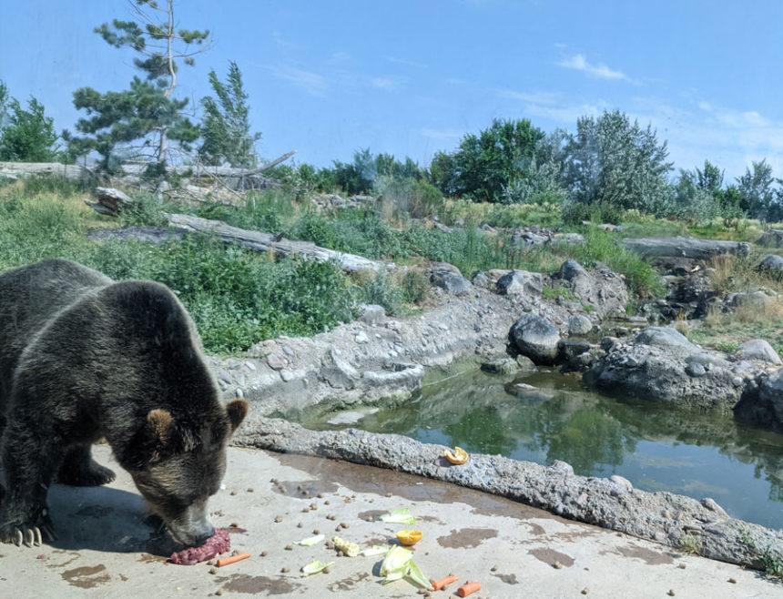 A Grizzly Bear in Zoo Idaho, Pocatello -- Pocatello's new and improved habitat