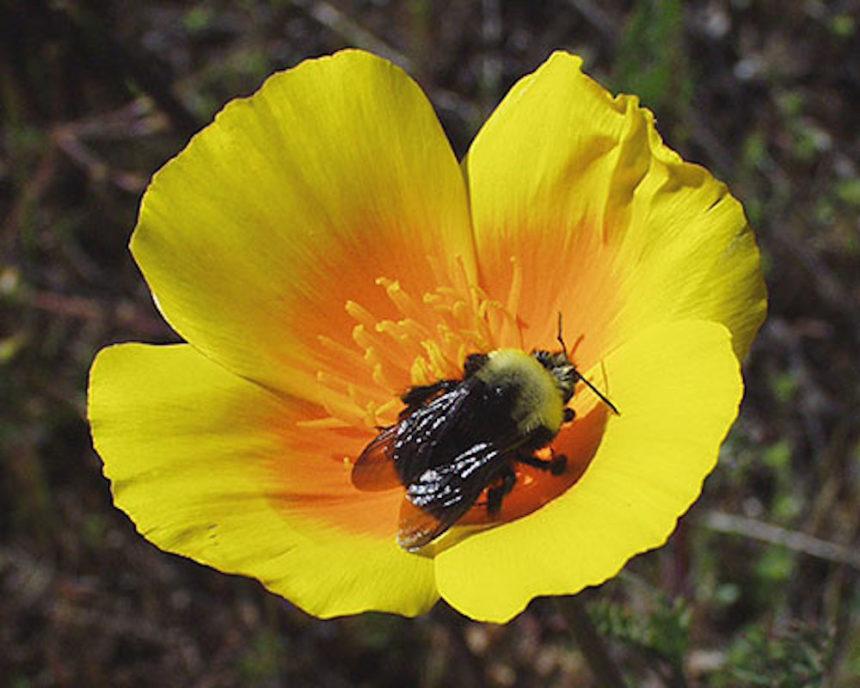 Franklins bumble bee Peter Schroeder 460