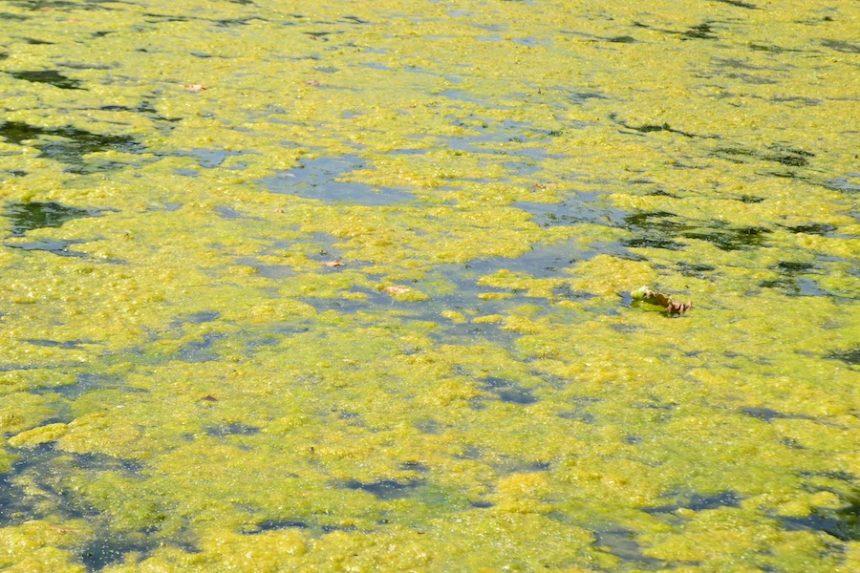 harmful algae
