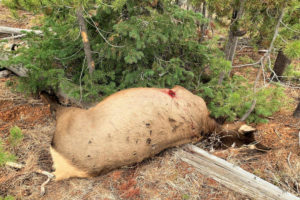 dead cow elk